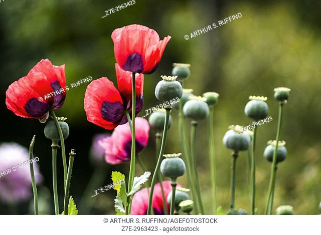 Poppy enchantment in an English garden. Red and pink poppies with dark patches