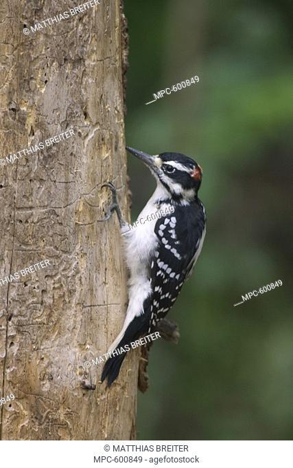 Hairy Woodpecker Picoides villosus, on tree trunk, Orr, Minnesota