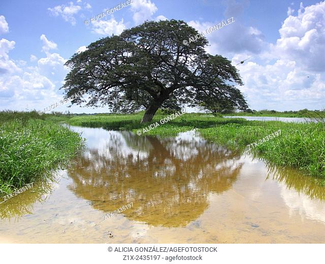 Saman tree Guarico State, Venezuela
