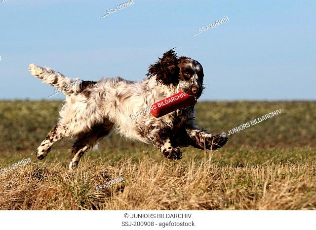An English Springer Spaniel (male, 10 month old) running on a stubble field while fetching a dummy. Germany