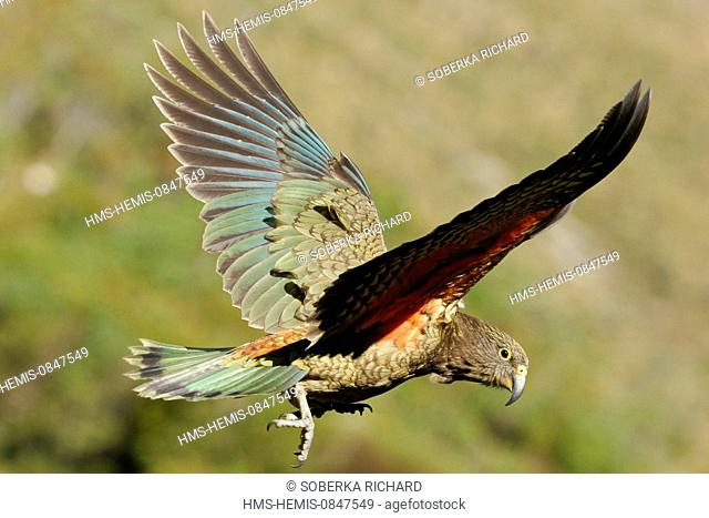 New Zealand, South Island, Region of Canterbury, national park of Arthur's Pass, Nestor Kea (Nestor notabilis) flying on the pass of the park