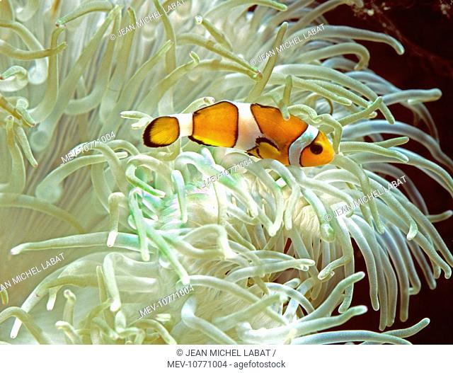 Clown / Anemone Fish (Amphiprion ocellaris)