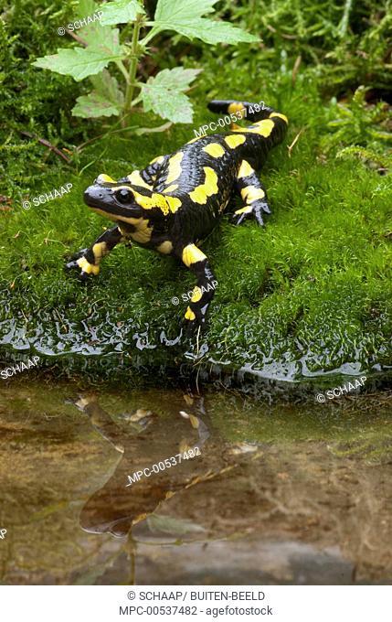 Fire Salamander (Salamandra salamandra) near stream, Netherlands
