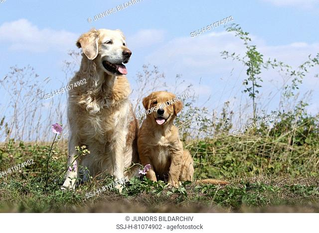 Golden Retriever. Mother (11,5 years old) and puppy (9 weeks old) sitting next to each other. Germany