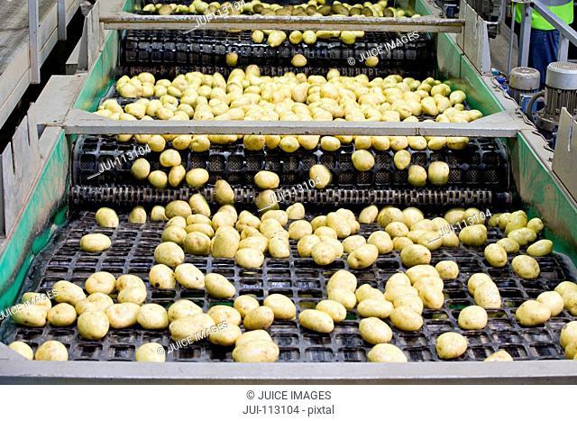 Potatoes on conveyor belt in factory
