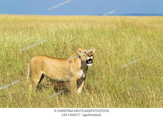 Lioness (Panthera leo) looking up to flying vultures, Masai Mara National Reserve, Kenya, Africa