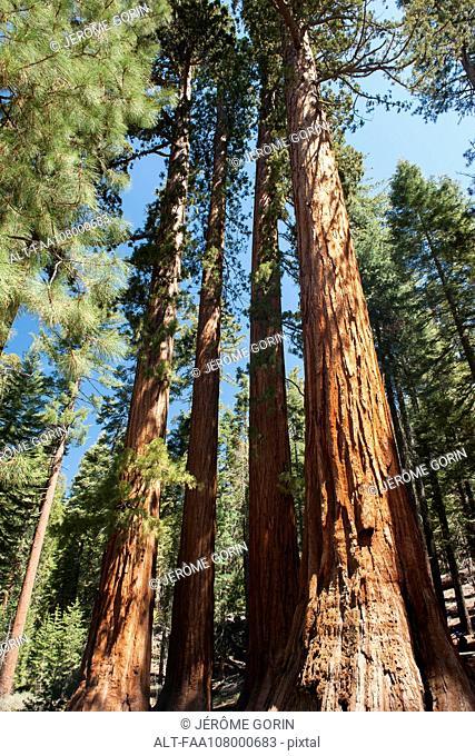 Giant sequoias, Yosemite National Park, California, USA