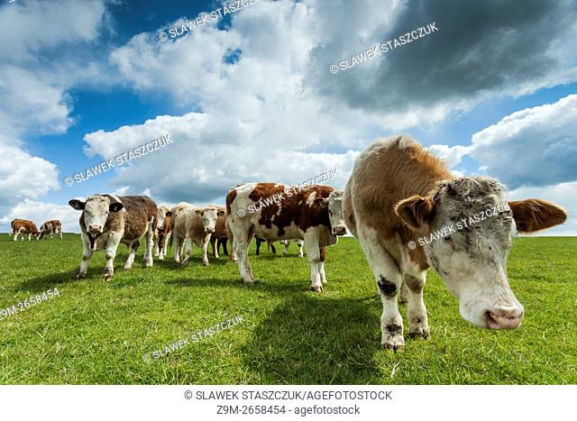 A herd of bulls in the countryside near Brighton, East Sussex, England