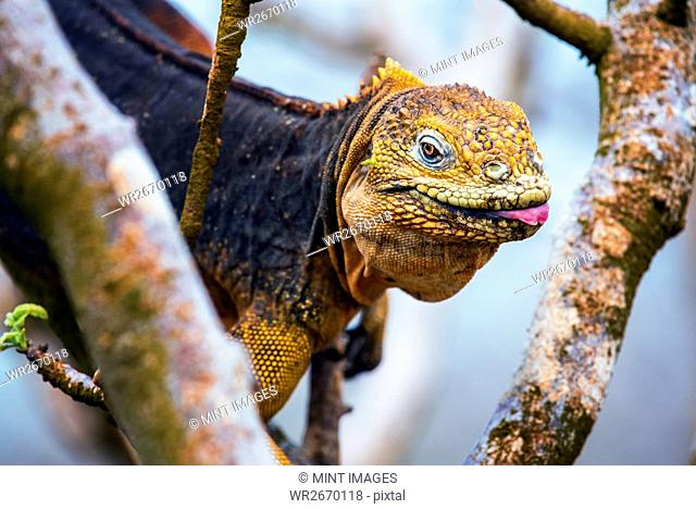 Galapagos land iguana, an iguana with a bright orange skin and black body, in a tree
