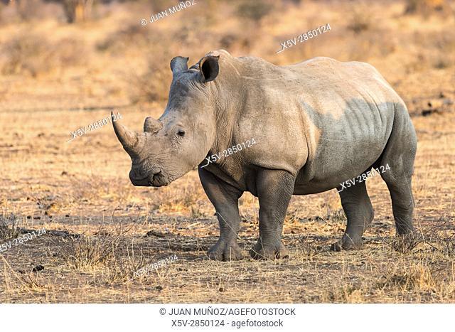 Rhinoceros (Ceratotherium simum). Etosha National Park. Namibia.Africa
