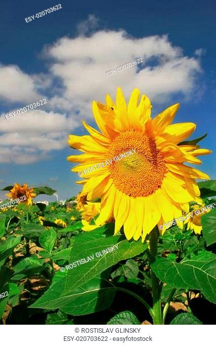 Vertical oriented image of yellow sunflower on the field under blue sky with whi