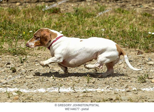 A cute little Dachsund trying to get those little legs moving in a wiener dog race in Rathdrum, Idaho