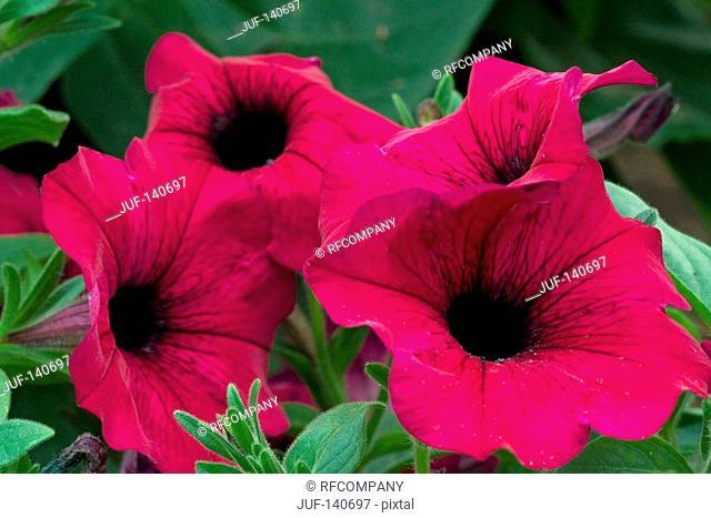 petunia - blossoms