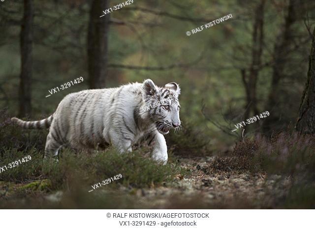 Royal Bengal Tiger / Koenigstiger ( Panthera tigris ), white morph, young, cute animal, sneaking through a forest