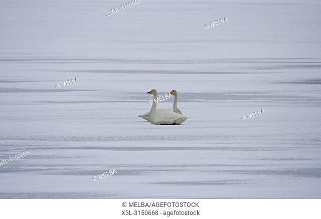 Pair of swam, Cygnus olor, in frozen lake. Iceland