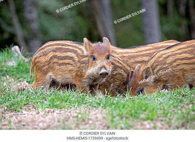 France, Haute Saone, Private park, Wild Boar ( Sus scrofa ), piglets