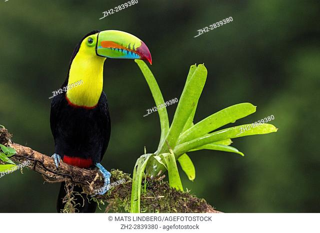Keel-billed toucan, Ramphastos sulfuratus, sitting in a tree at Laguna del Lagarto, Boca Tapada, San Carlos, Costa Rica
