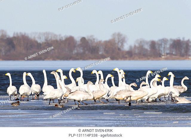 Whooper Swans (Cygnus cygnus) flock resting on frozen lake in winter