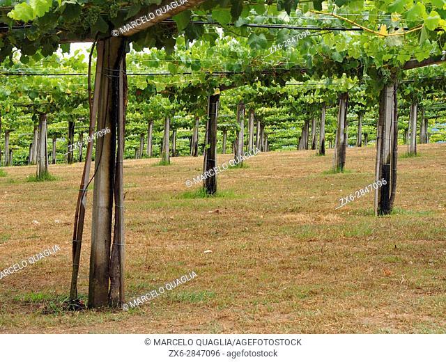 Vineyards at San Mamede of Ribadulla Parish, Vedra Council. A Coruña province near Santiago de Compostela city. Galicia Autonomous community. Spain