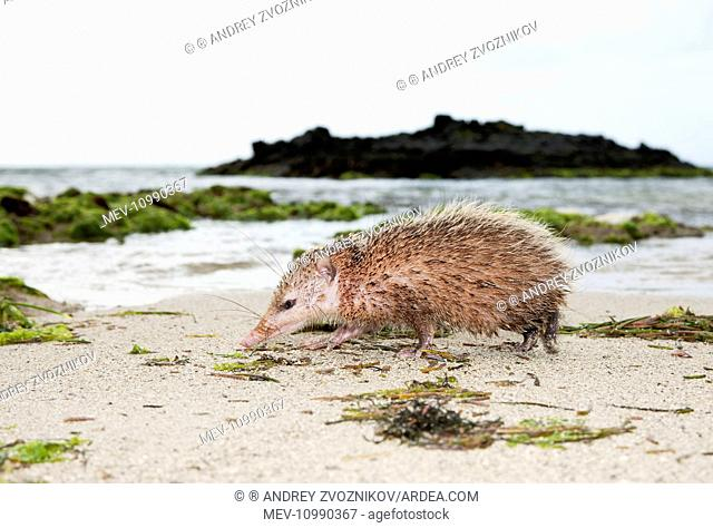 Tailless tenrec Common tenrec adult searches for food and shelter in early morning sea beach near Poste de Flacq June East of Mauritius
