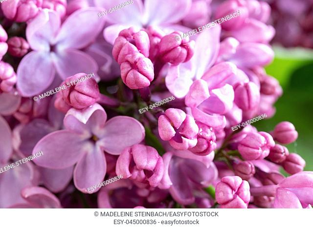 Closeup of lilac flowers blooming outdoors, selective focus