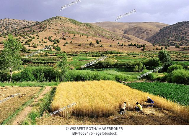 Three men harvesting a grainfield with sicles, High Altas mountains at back, Ait Bouguemez, Morocco, Africa