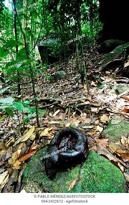 Dead Rafflesia tuan-mudae in Gunung Gading national park, Sarawak, Malaysia, Borneo