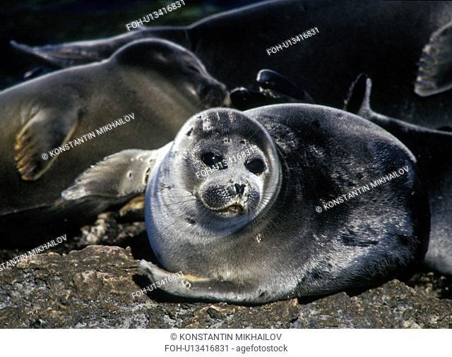 Baikal, East Siberia, Eatern Siberia, Phoca sibirica, Siberia, animal world, animals