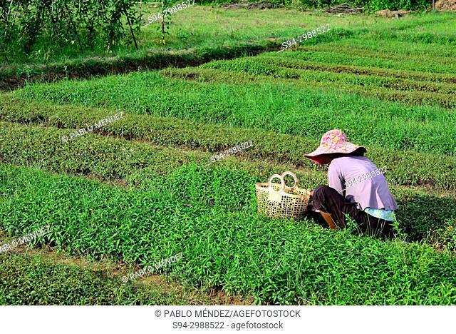 Farmer working in Koh Trong island, Kratie province, Cambodia