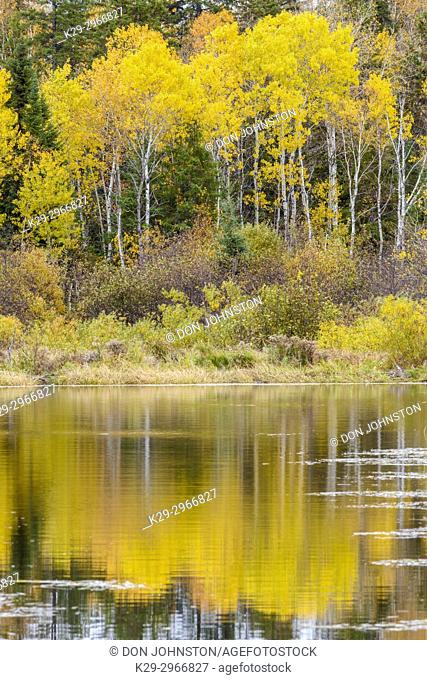 Autumn aspens reflected in a beaver pond, Greater Sudbury, Ontario, Canada