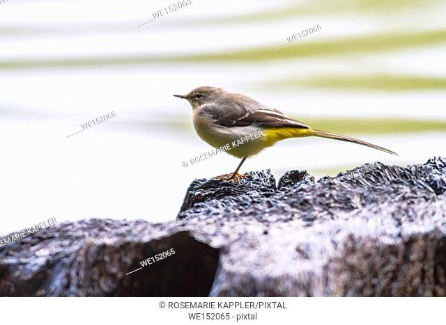Germany, Saarland, Homburg - A grey wagtail at a rainy day on seaside