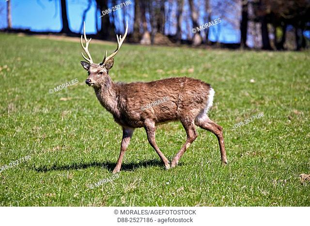 France, Haute Saone, Private park, Sika Deer Cervus nippon, stag, standing in grass,