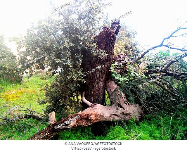 Fallen tree trunk, Cerro de la Cabeza, Escurial, Cáceres, Extremadura, Spain