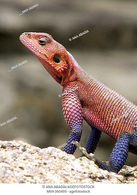 Agama Lizard (Agama agama). Serengeti National Park, Tanzania