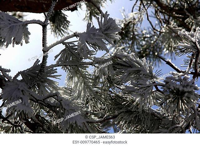 beautiful ice pine branches above