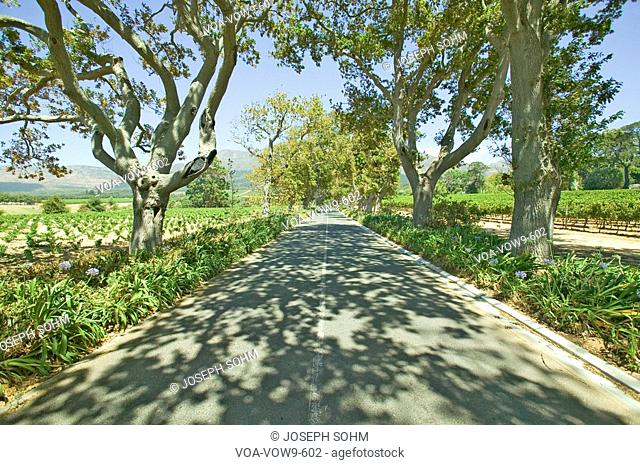 Shady drive down Constantia Wine Vineyard outside of Cape Town, South Africa