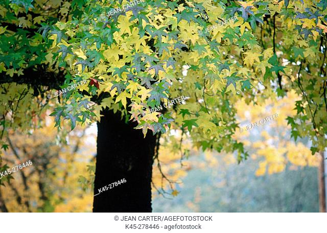 Sweetgum (Liquidamber styraciflua) tree in fall. Pass Creek Park. Western Oregon. USA