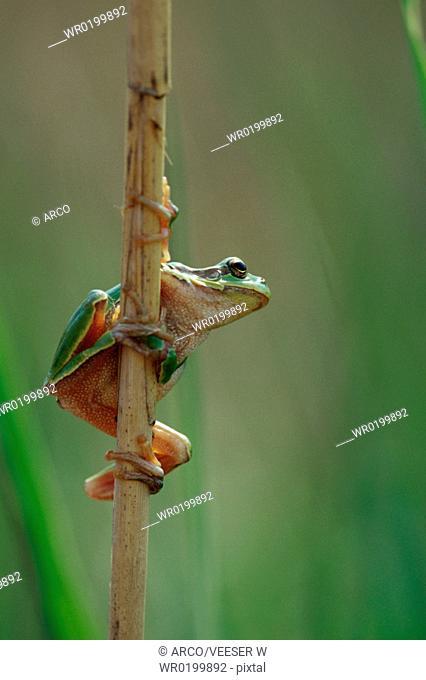 European, Tree, Frog, Neusiedler, Lake, Austria,Hyla, arborea