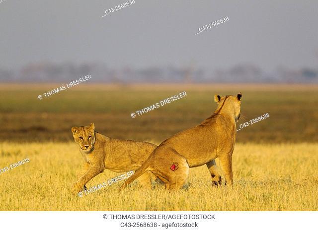 Lion (Panthera leo) - Playful females at sunrise. Savuti, Chobe National Park, Botswana