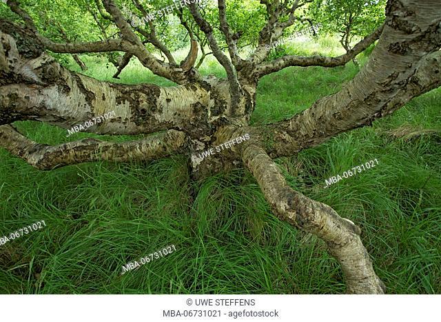 Krummholz of a birch on the East Frisian island of Baltrum
