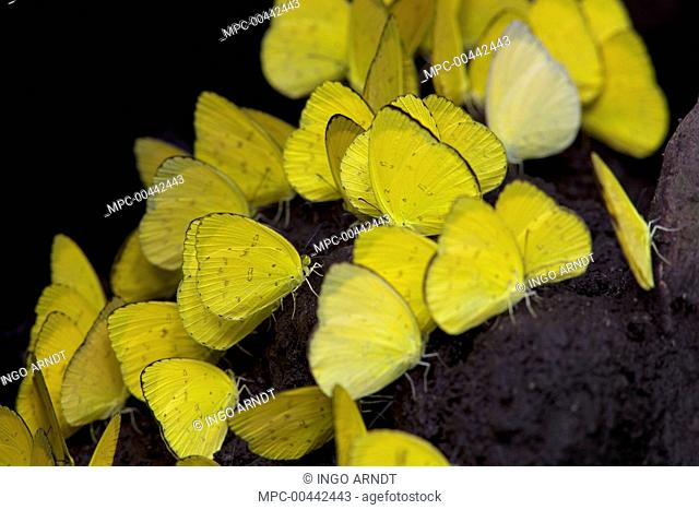 Pierid Butterfly (Eurema sp) group feeding on soil minerals, Christmas Island, Indian Ocean, Territory of Australia