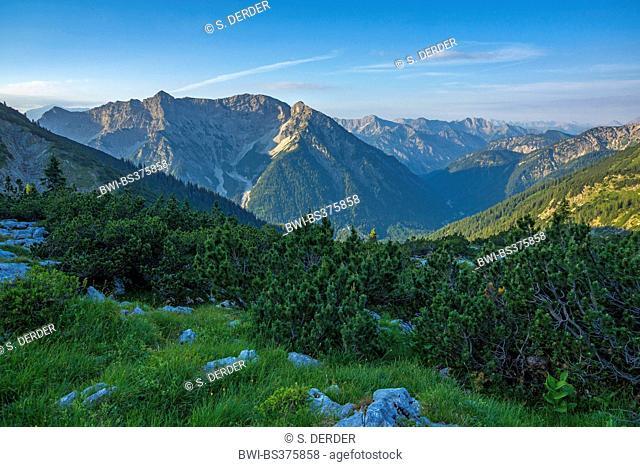Mountain pine, Mugo pine (Pinus mugo), view from the Ammer Mountains onto the Wetterstein Mountains, Germany, Bavaria, Oberbayern, Upper Bavaria