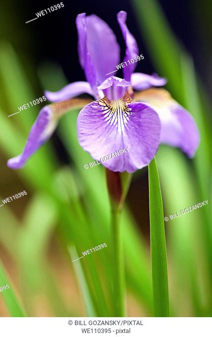 Iris Flower - Brevard, North Carolina, USA