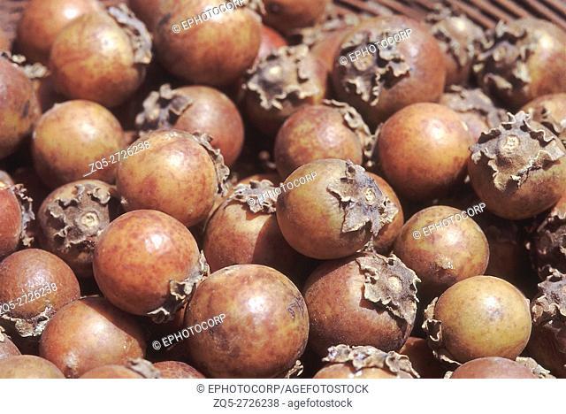 Rip fruit. Diospyros Melanoxylon. Tendu tree/Indian Ebony. Family: Ebenaceae. A large deciduous tree typical to the deciduous forests of peninsular India