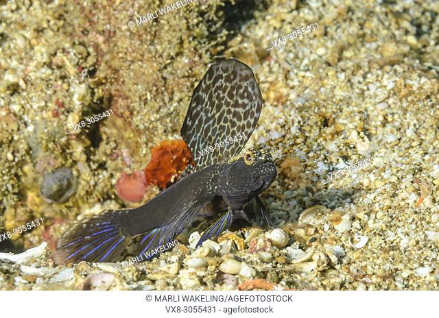 Magnificent shrimp-goby, Flabelligobius sp. , Anilao, Batangas, Philippines, Pacific