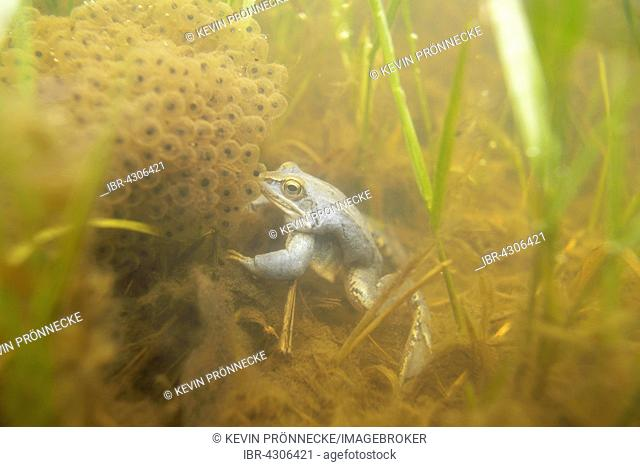 Moor frog (Rana arvalis), blue coloured male during mating season, under water with spawn, Elbe Saxony-Anhalt, Germany