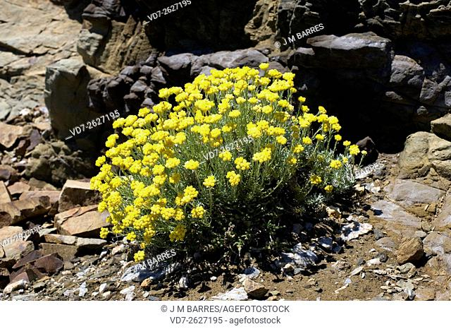 Perpetual or everlasting (Helichrysum stoechas) is an herb native to coastals of the Mediterranean regions. Angiosperms. Asteraceae