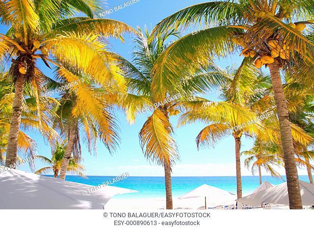 coconut palm trees in Caribbean tropical beach