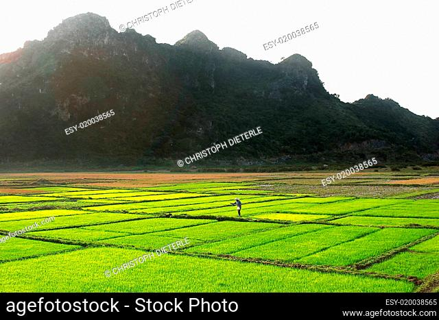 Frau auf grünem Reisfeld vor Bergen