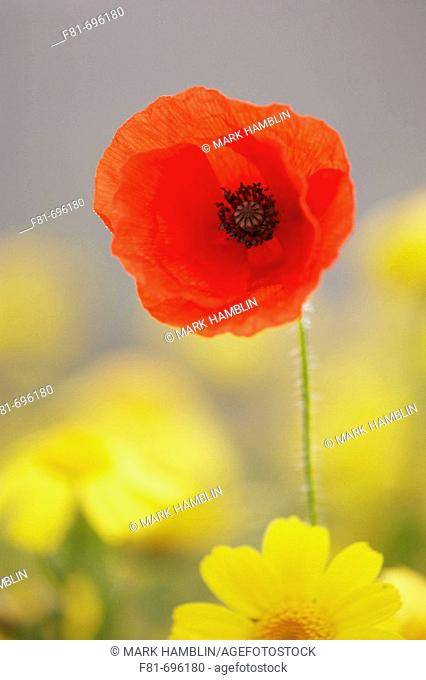 Common Poppy Papaver rhoeas isolated flower head amongst corn marigolds  Scotland  August